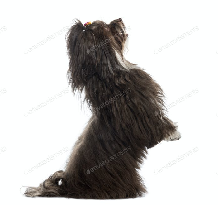 Side view of a Havanese on hind leg, isolated on white