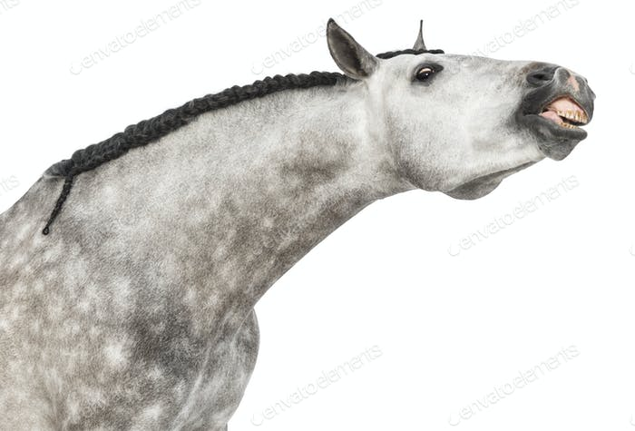 Close-up of an Andalusian head, 7, stretching its neck, also known as the Pure Spanish Horse