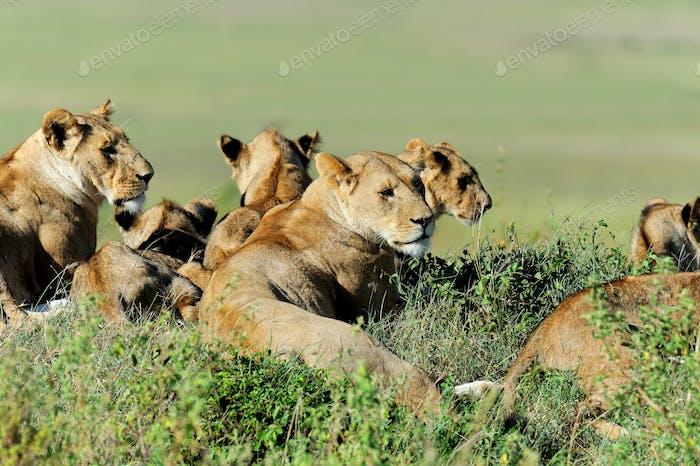 Löwe im Gras von Masai Mara, Kenia