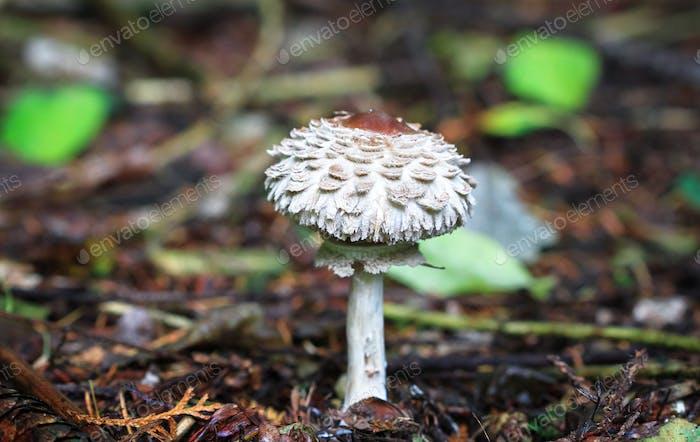 Shaggy Parasol Mushroom in England