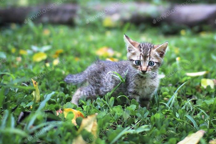 Tabby Kitten Walking in the Garden