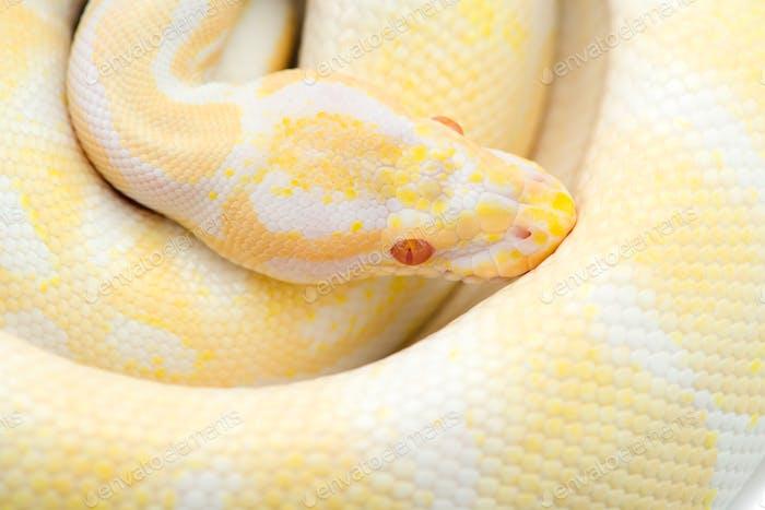 Die königliche Python isoliert auf weißem Hintergrund