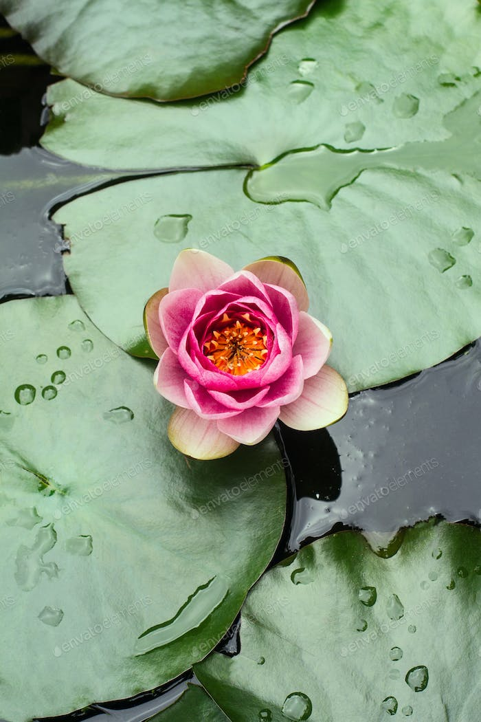 rain drops on water lily
