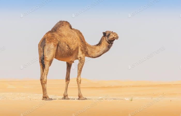Ein Kamel im leeren Viertel