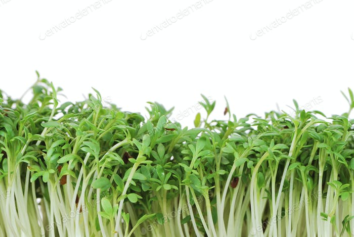 Isolated Garden Cress Sprouts