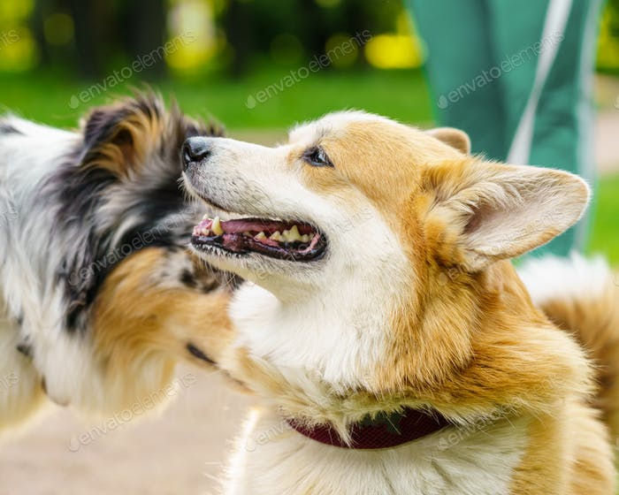 Playful spotted Australian Shepherd and petit corgi playing in summer city park