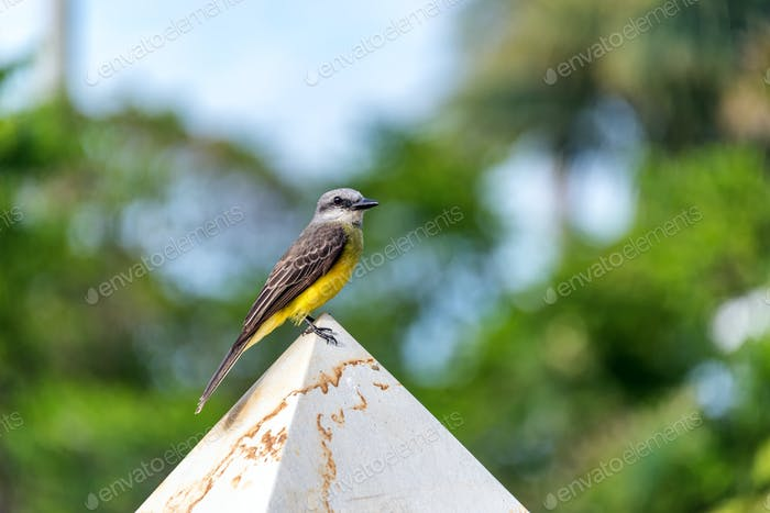 Tropical Kingbird in Colombia