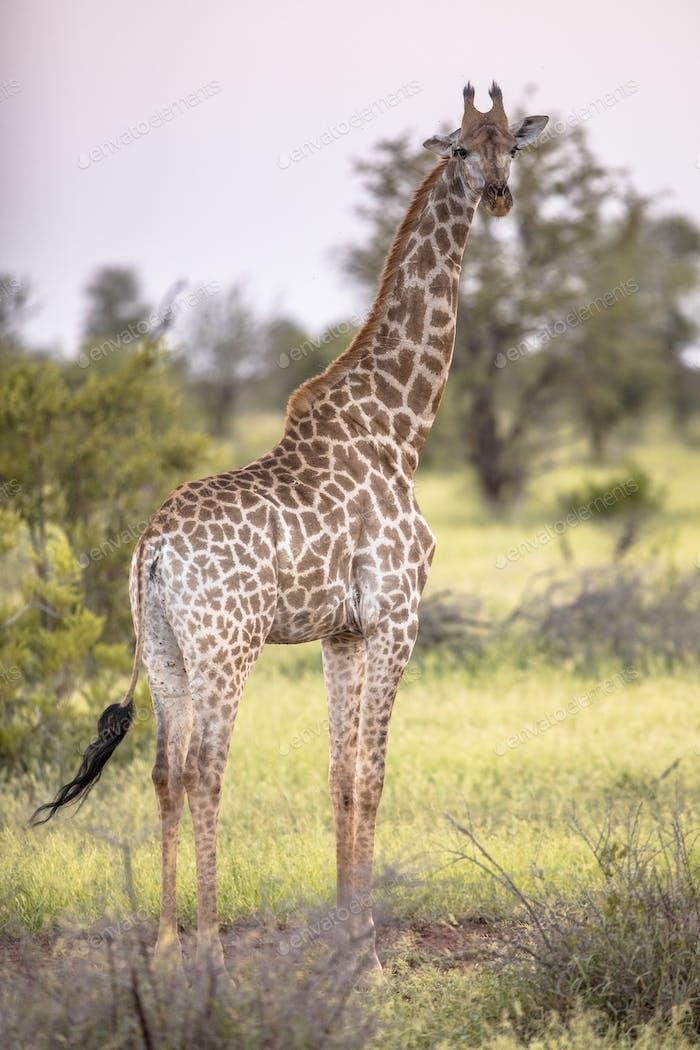 Giraffe stehend in sanftem Sonnenlicht