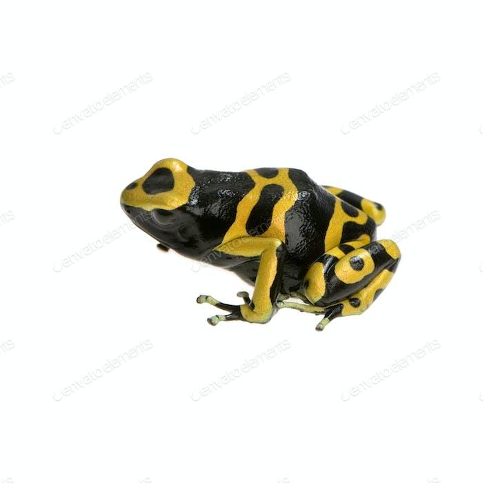 Thumbnail for Poison Dart Frog - Dendrobates leucomelas