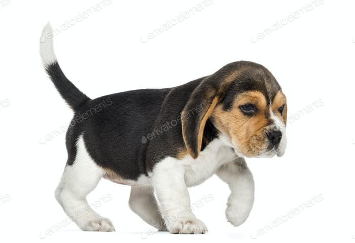 Side view of a Beagle puppy walking, isolated on white