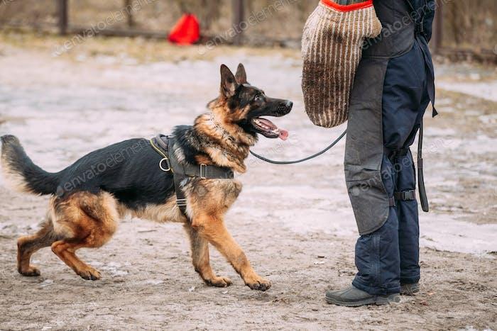 German Shepherd Dog training. Biting dog