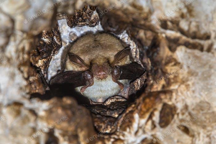 Long-fingered bat roosting