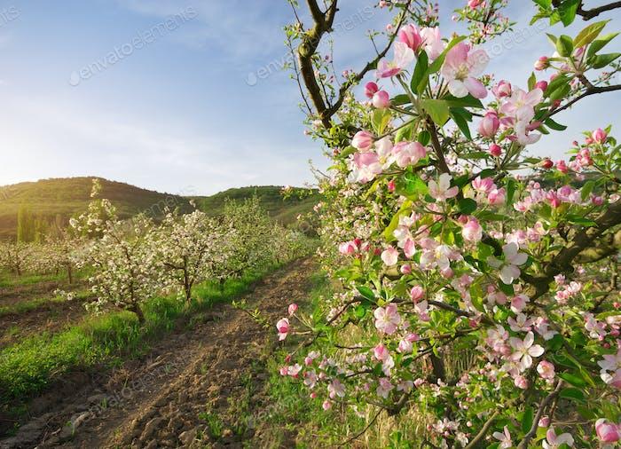 Apple tree in garden.
