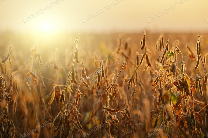 Soy field landscape at sunset time backlit by sun