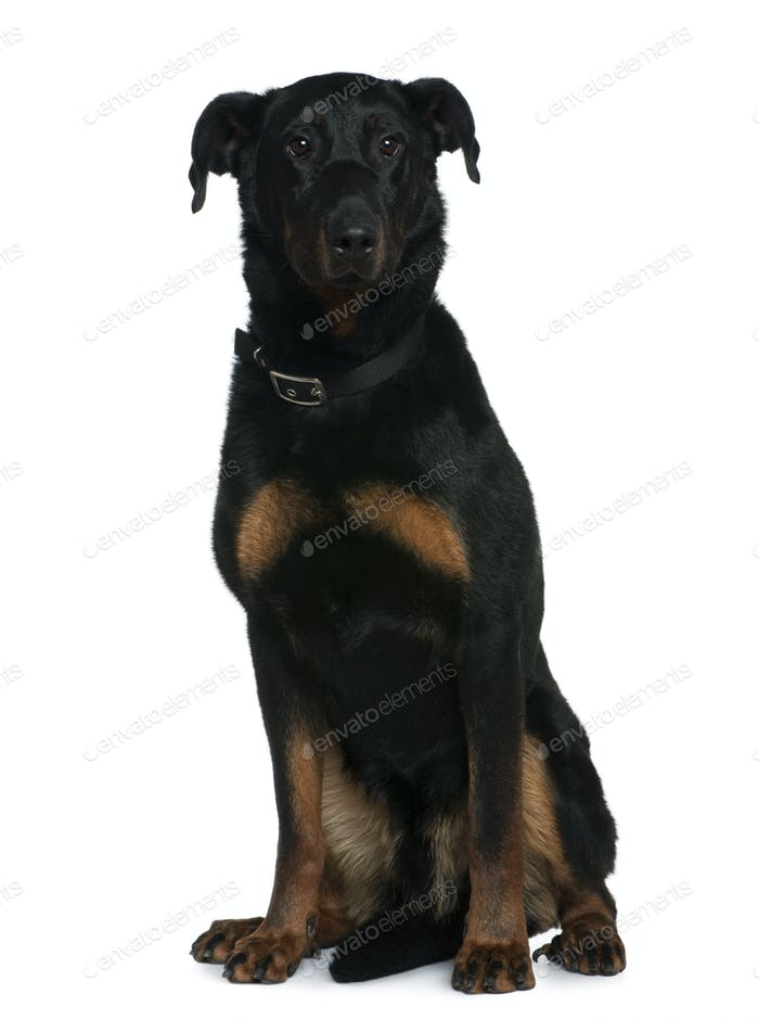 Beauceron dog, 3 and a half years old, sitting in front of white background