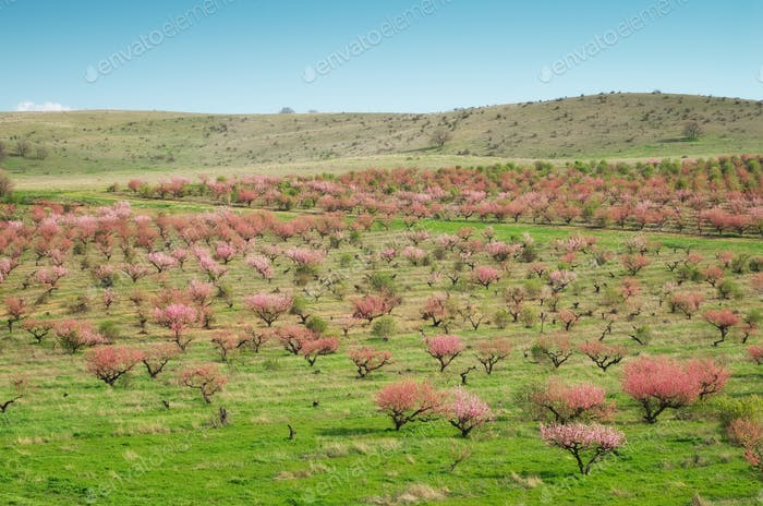 Orchard blooming trees.