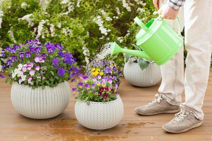 Mann Gärtner Bewässerung Viola Blumen im Garten