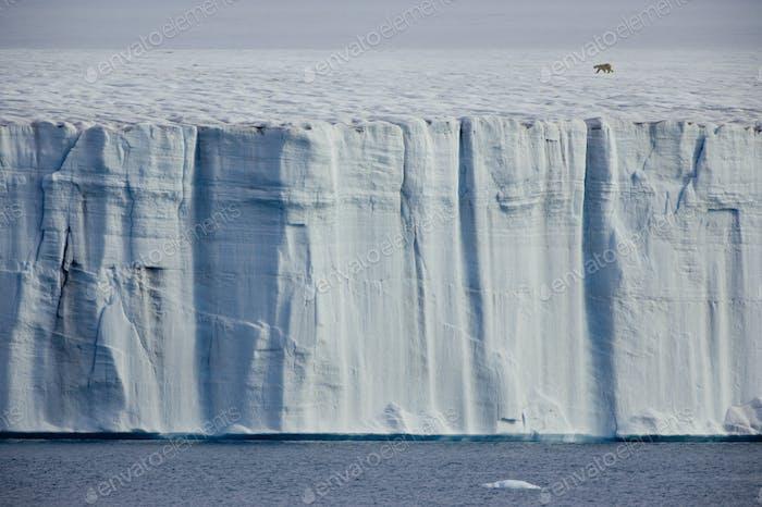 A polar bear,Ursus maritimus, striding across the ice.