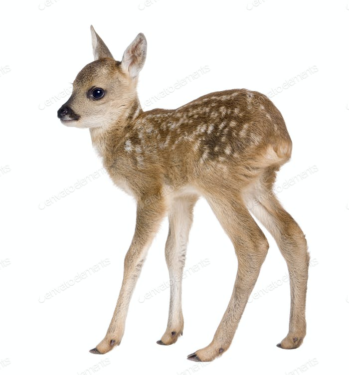 roe deer Fawn - Capreolus capreolus (15 days old)