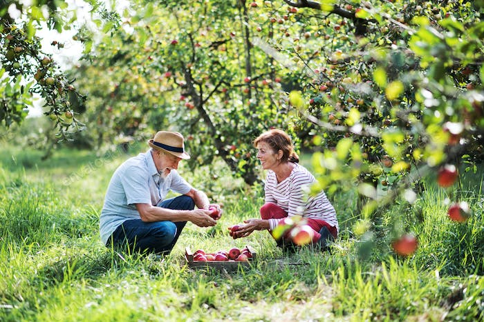 A senior couple picking apples in orchard in autumn.