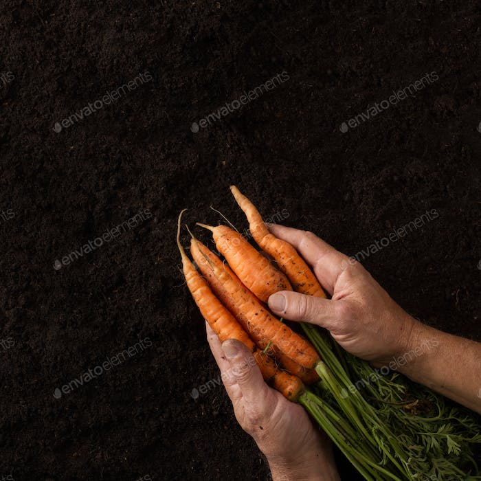 Farmer hands holding freshly harvested carrots