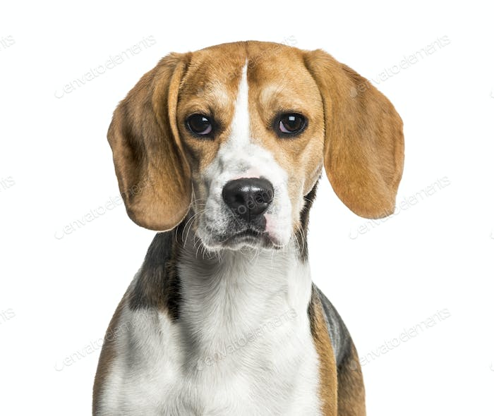 Close-up of Beagle dog, cut out