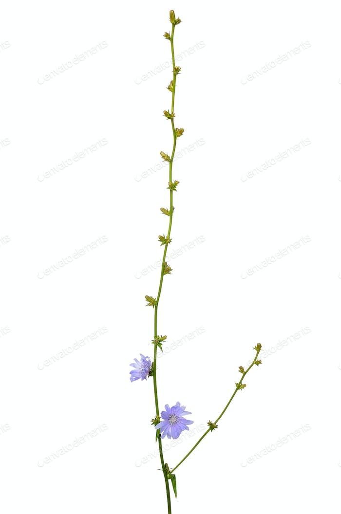 Cichorium flower