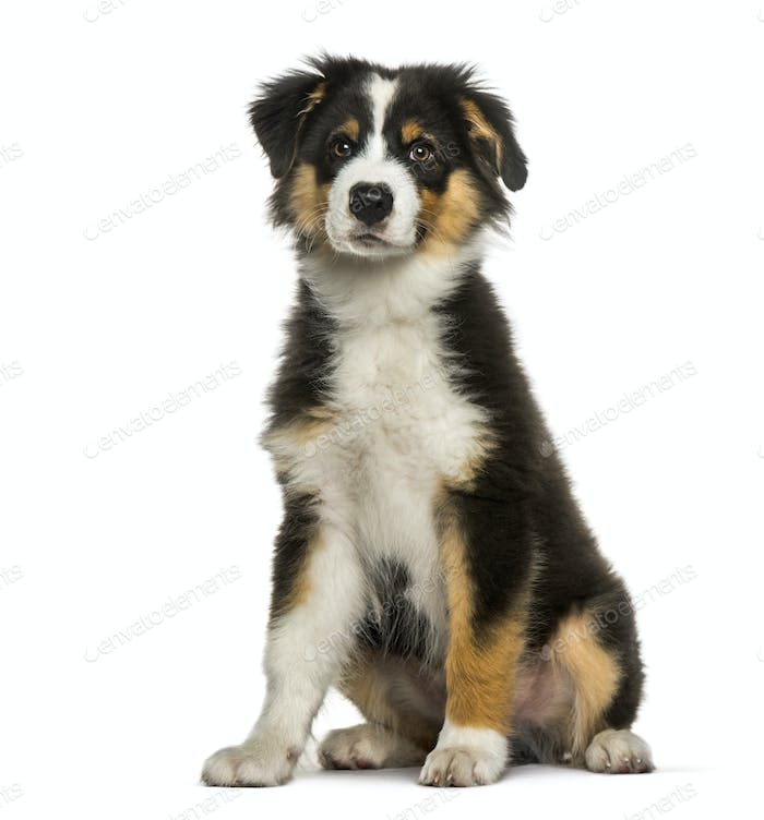 Australian Shepherd, 4 months old, sitting in front of white background