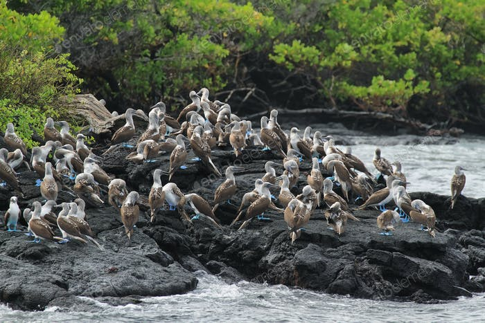 Colony of blue footed boobies