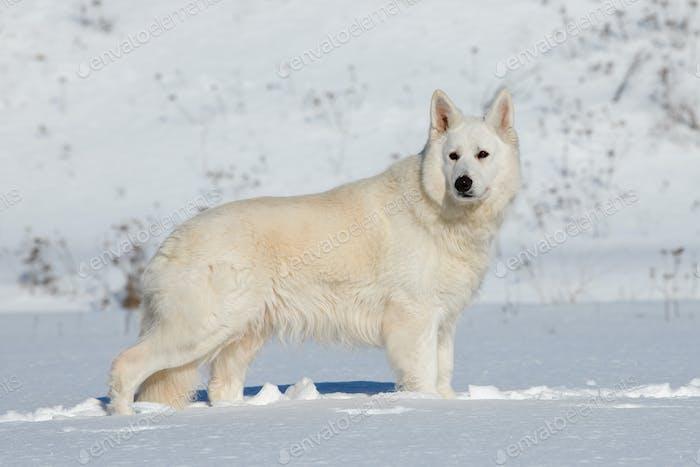 Weißer Schweizer Schäferhund läuft auf Schnee