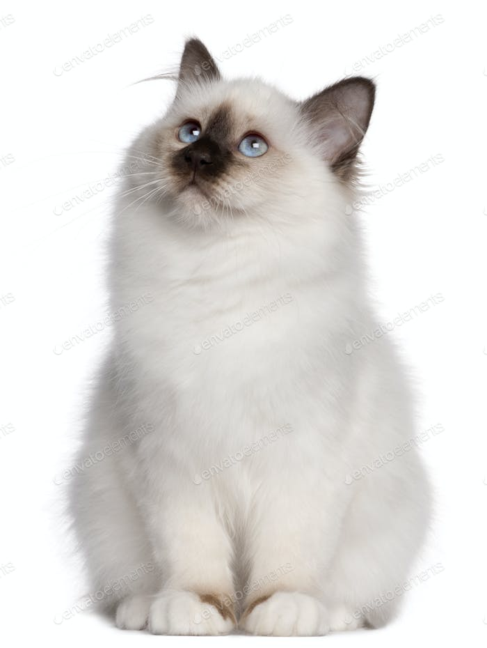 Birman kitten, 4 months old, sitting and looking up in front of white background
