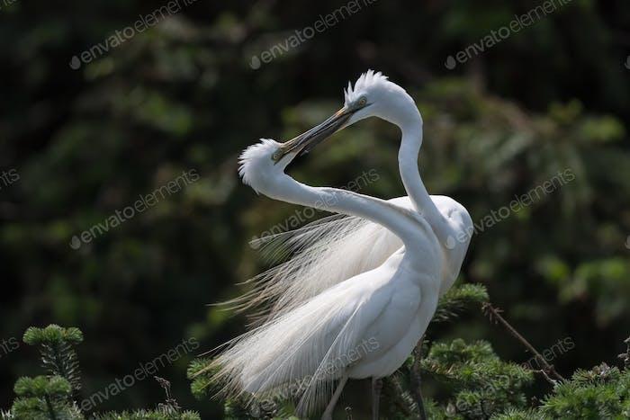 great egret, great white heron,casmerodius albus