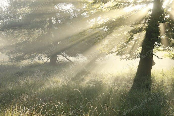 sunbeams in fog between trees