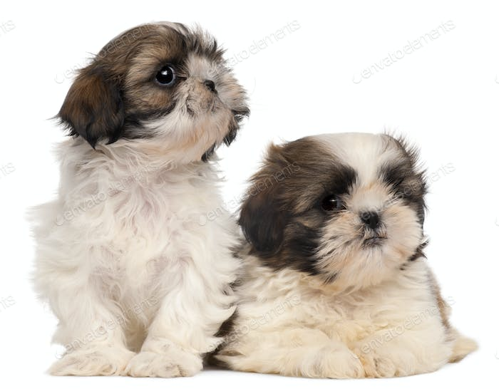 Two Shih-tzus in front of white background