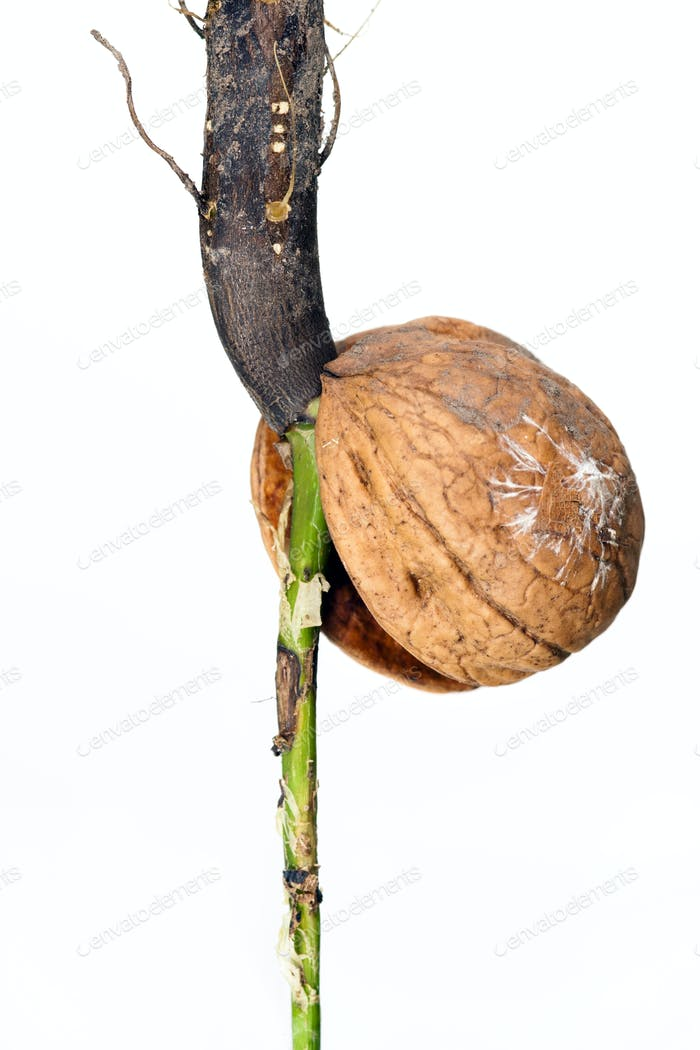 Detail of the sprouting nut