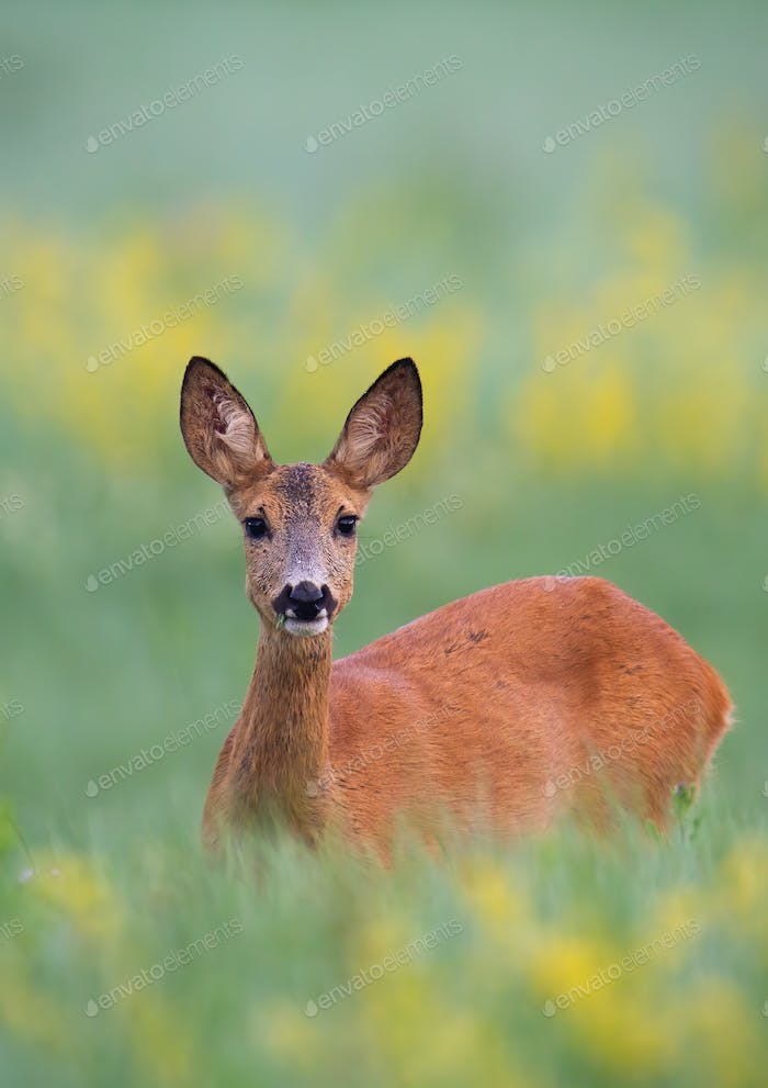 Surprised roe deer standing in tall green grass partially hidden on a meadow