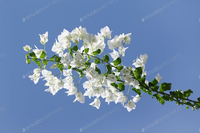 Branch of bougainvillea with white flowers