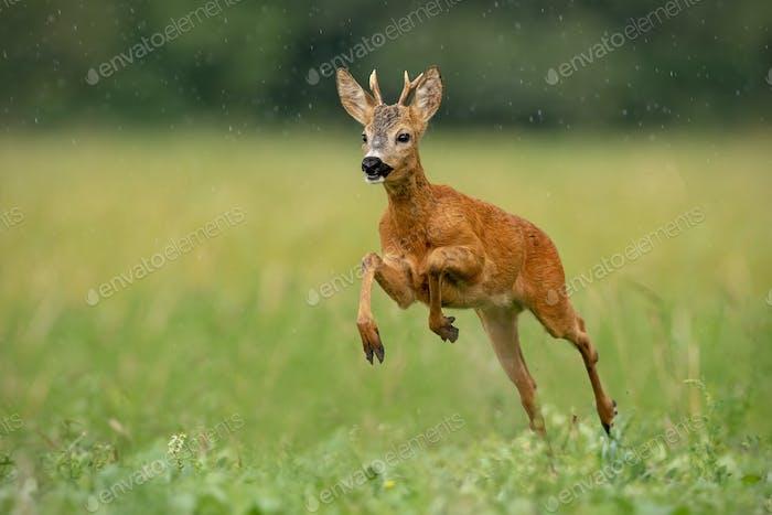 Roe deer buck running fast across green field in light summer rain
