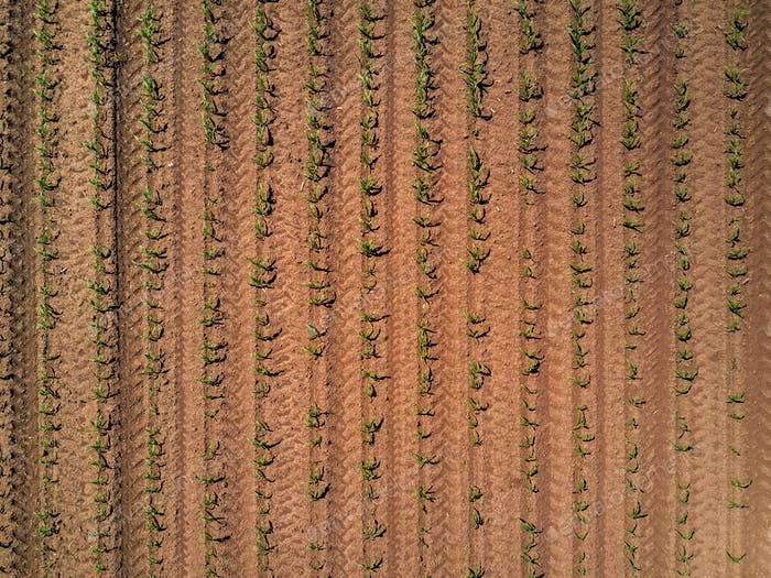 Aerial view of cultivated maize field from drone