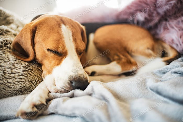 Beagle dog sleeps on sofa indoors