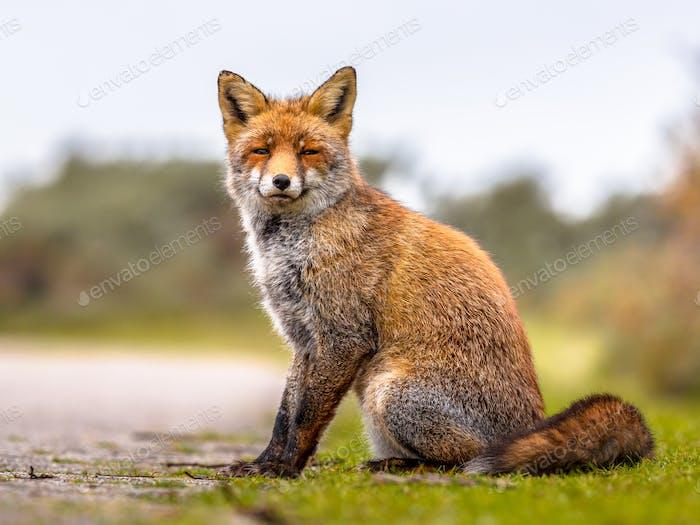 Fuchs sitzt im Gras