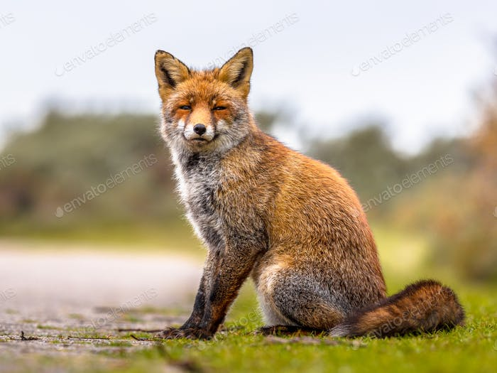 Fox sitting in grass