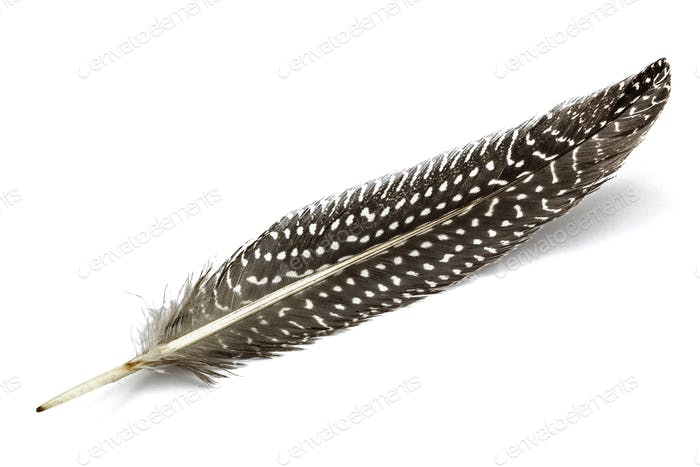 Feather of guinea fowl, isolated on white background