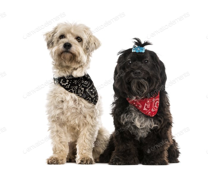 Two crossbreed dogs wearing a scarf