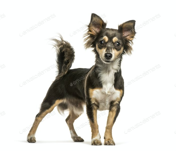 Chihuahua, 8 months old, in front of white background