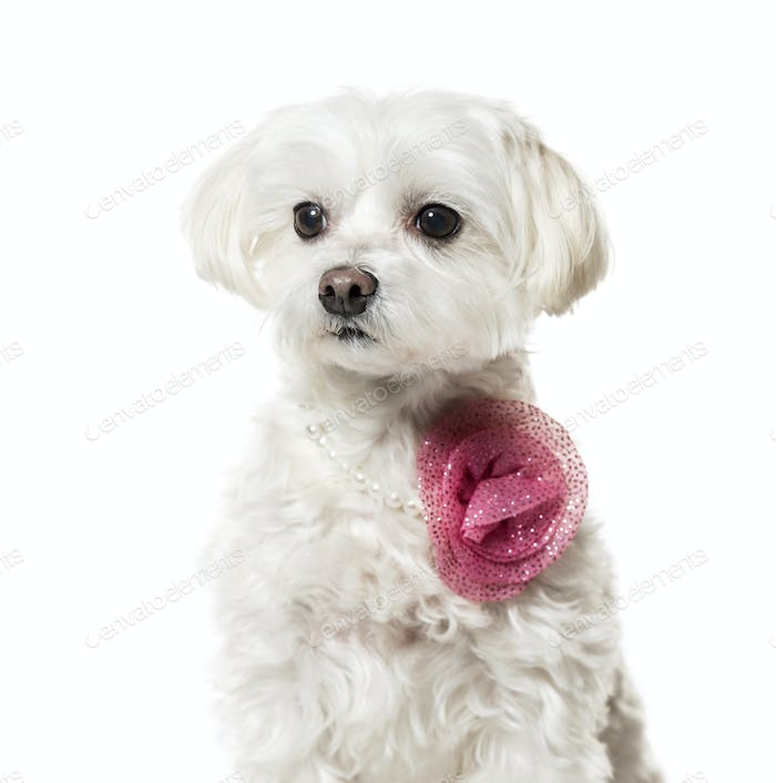 Maltese dog in pink fashion sitting against white background