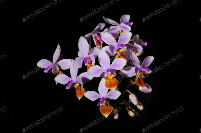 Phalaenopsis spp.