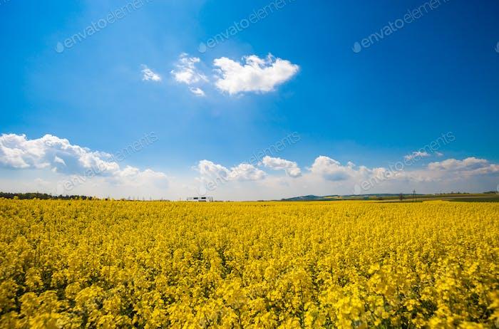 Gelbe Landwirtschaft Rapssaat Landschaft Canola oder Raps