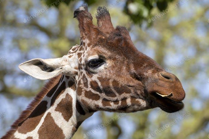 Giraffe head portrait