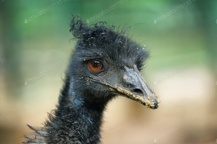 Black ostrich closeup portrait
